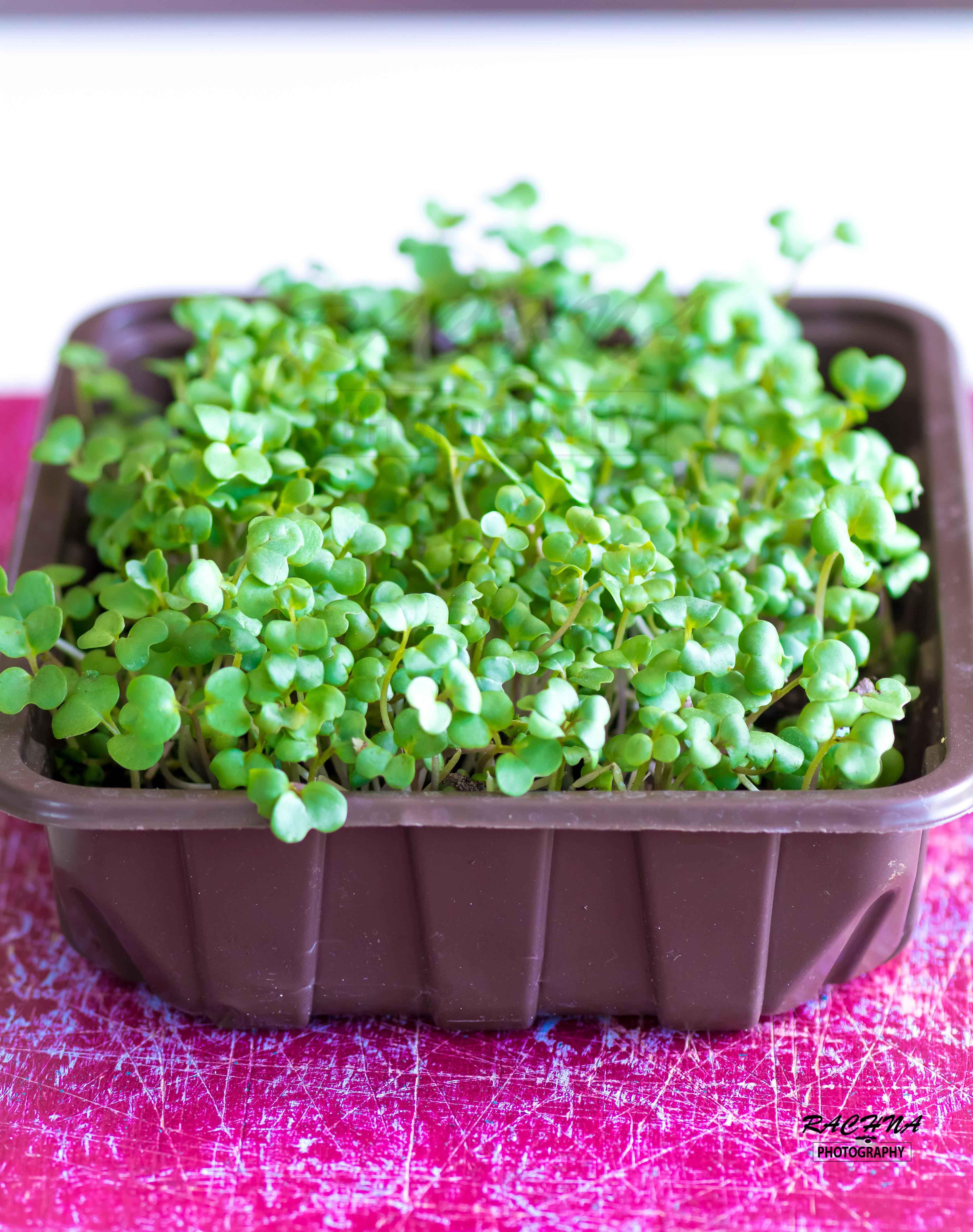 growing mustard micro greens